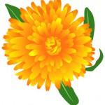 marigold (calendula oficinalis) 2